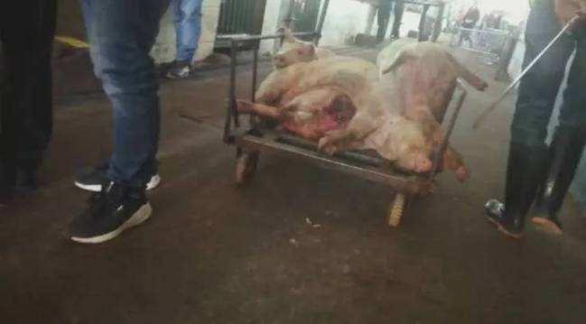 死豬。網圖