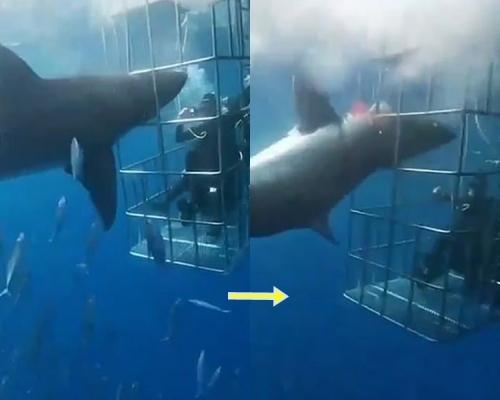 大白鯊撞觀光鐵籠被卡25分鐘 遊客面前失血慘死