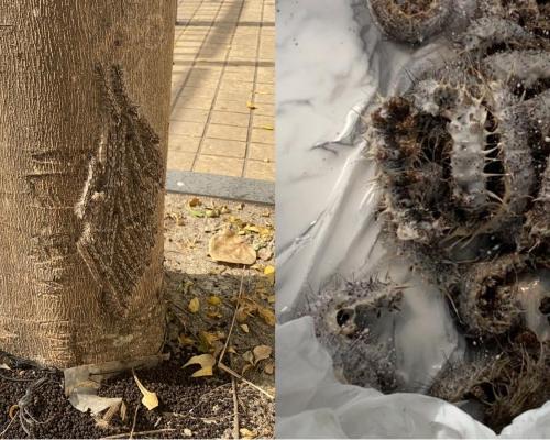 暖冬後遺症?深井驚現有毒海毛蟲
