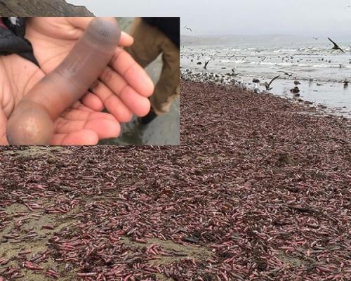 加州暴風雨後逾千「陰莖魚」沖上沙灘 遊人尷尬