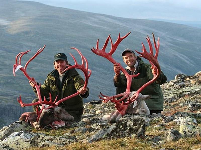 猎人们更驯鹿取下鹿角,再高举鹿角自豪微笑。网图