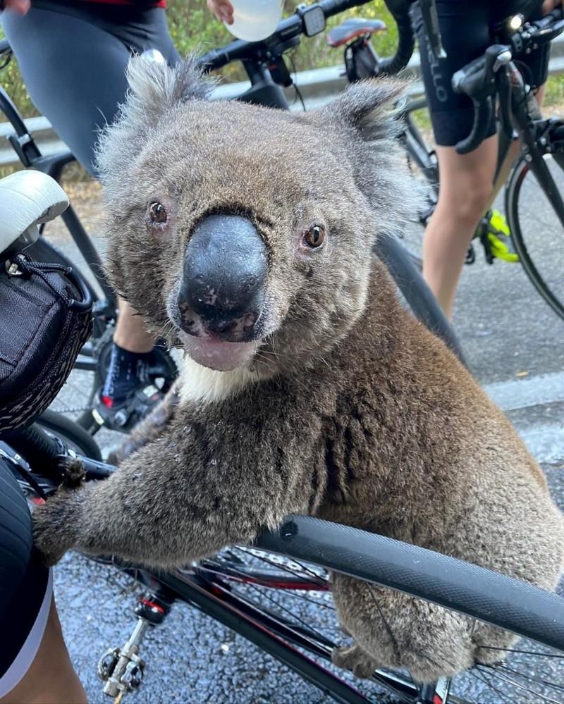 树熊攀上单车架似向人求救。ig