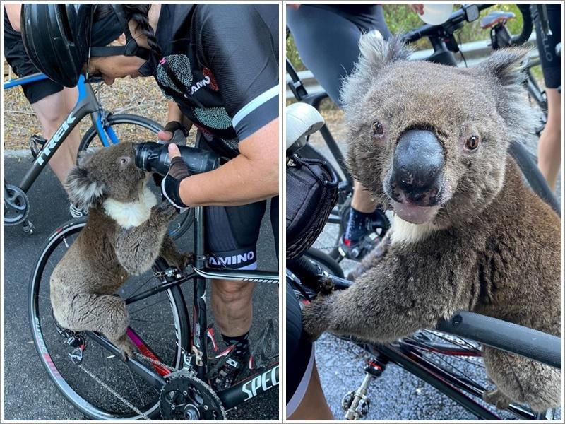 树熊攀上单车架一口又一口地喝着水。ig
