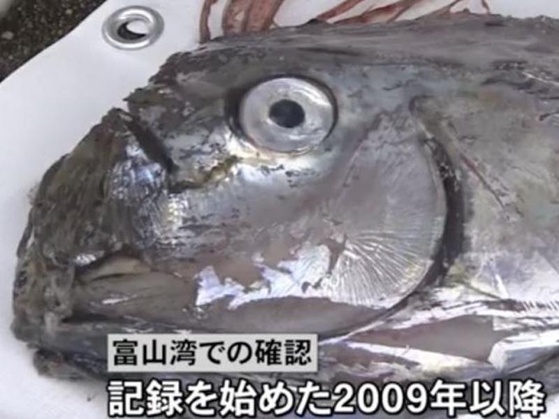 富山縣發現的皇帶魚屍體,被運送到魚津水族館冷凍保藏,作為展品開放給觀眾參觀。(網圖)