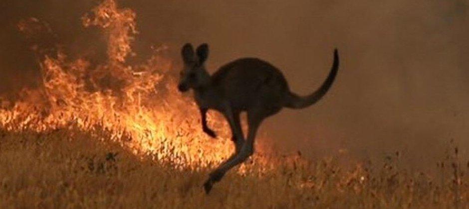 澳洲野火夺走不少野生动物的性命。