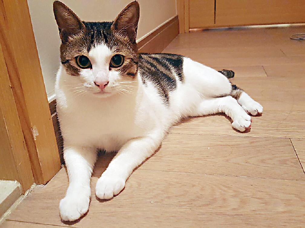 張致恒(Steven)女友莊端兒(Xenia)在小學時已開始養貓,自搬出來獨居後,三年前開始再過貓奴生活,之後陸續有朋友在街上拾了流浪貓就會問她養不養,至現時已有六隻,幸好小寶貝都能相處融洽,她稱已爆Quota,不能再收養了。由於不用帶貓貓出街沖涼和散步,所以即使當了藝人,照顧寶貝們也不太困難。撰文:李佩儀 一直想再養貓的Xenia因為一次看中醫而跟貓再結緣,「中醫師喺街救左隻貓仔,但因佢唔考慮收養,就問我有無興趣,當時諗都無諗就答應。」第一隻接回家的貓叫「蕉蕉」,三個月後再收養了「銀芽」,兩貓一直相處融