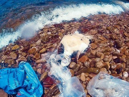 「海龟难以消化塑胶,有可能饱死或太耐无进食而饿死.
