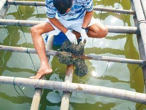 流浮山的青口及生蠔養殖場,受海洋酸化影響,將會減少產量。