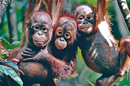 婆羅洲紅毛猩猩。