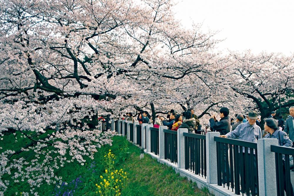 在日本賞櫻,請留意由櫻花開花日起計,大約七天便可迎來滿開景致。