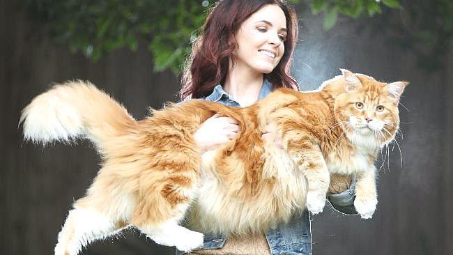 郗絲特包著她長達120厘米的緬因貓奧馬爾。(圖片來源:新聞公司)