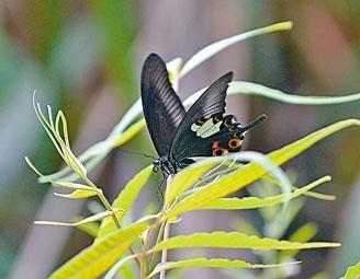 大欖郊野公園附近蝴蝶生態豐富,圖為玉斑鳳蝶。