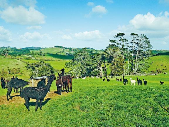 一眾羊駝們都能自由自在地在山坡上生活。