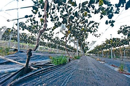 葡萄園七百棵巨峰提子樹一夜間被砍斷。