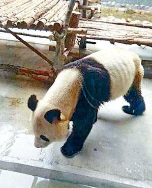 西安市的秦嶺野生動物園一隻大熊貓,瘦得皮包骨。