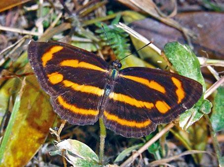 罕見的彌環蛺蝶。