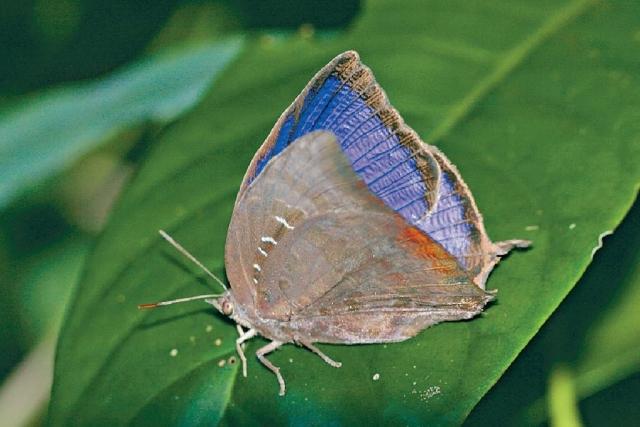 ■銀鏈嬈灰蝶。
