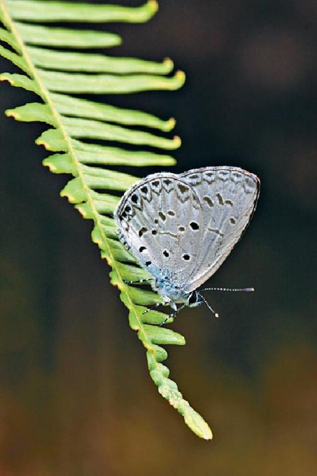 ■薰衣琉璃灰蝶。