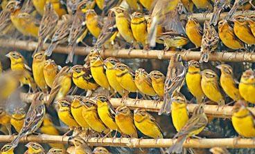 「國際自然保護聯盟」將禾花雀列為「極度瀕危」級別。