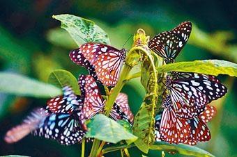 「綠色力量」公布本港「越冬斑蝶」的調查結果。