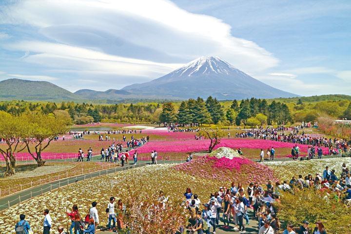 富士芝櫻祭會場內有八十萬株芝櫻盛放,形成偌大的桃紅色花世界。
