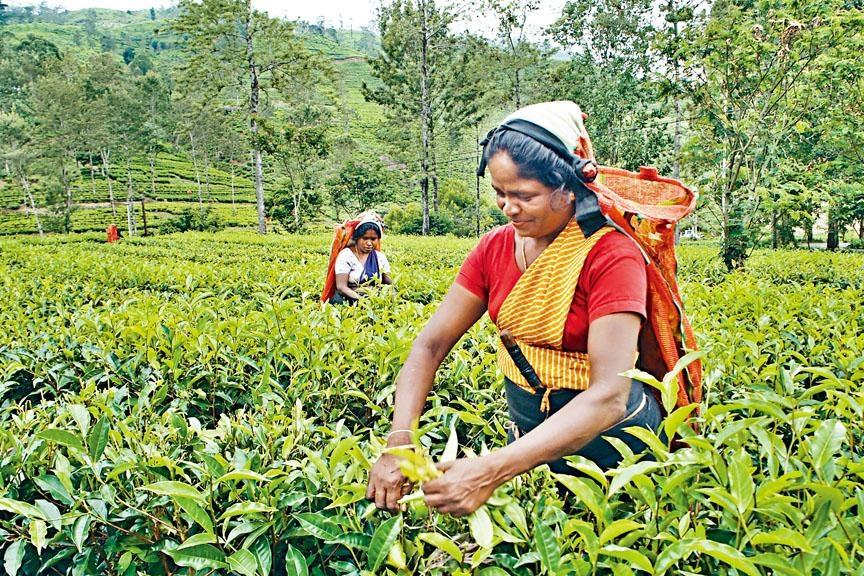 ●丁普拉是最早期開發的茶區之一,茶葉均由人手採摘。