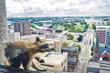 攀上建築物外牆的小浣熊。