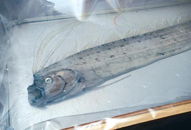 ■該條珍稀皇帶魚已獲學會製成標本。