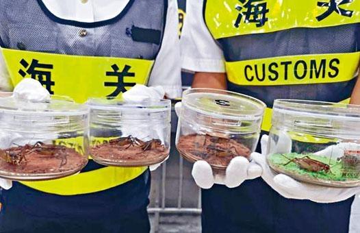 深圳海關檢獲的走私蟋蟀,分以雌雄一對放在玻璃盒內。