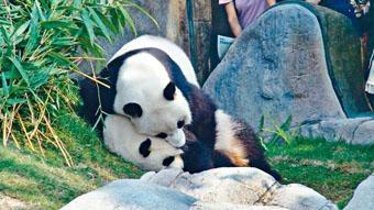 海洋公園大熊貓樂樂和盈盈,多年來都未能成功「繼後香燈」。