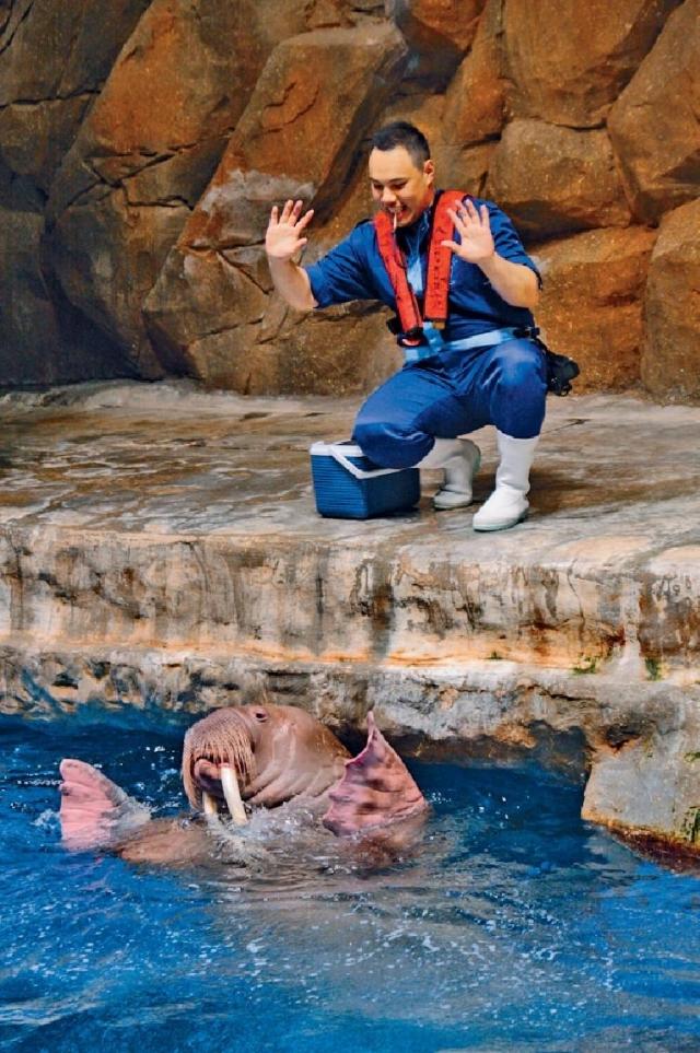 ■護理員要先與海象建立良好關係,才可訓練和教導海象做動作。