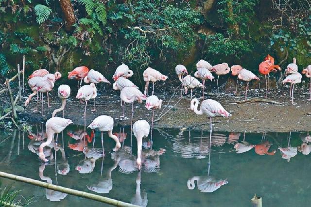 ■紅鶴群於湖邊過着優閒的生活。