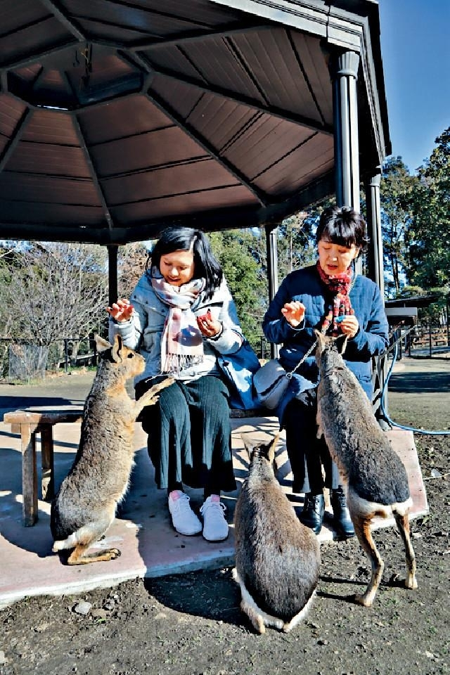 ■袋鼠們老實不客氣主動討食物。