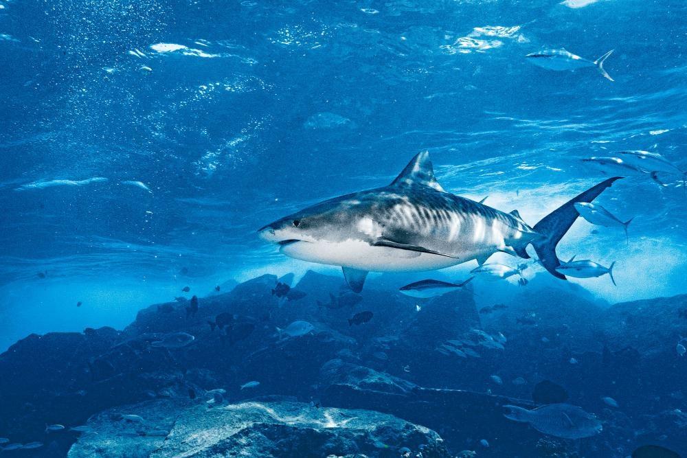 馬爾代夫——潛水看虎鯊