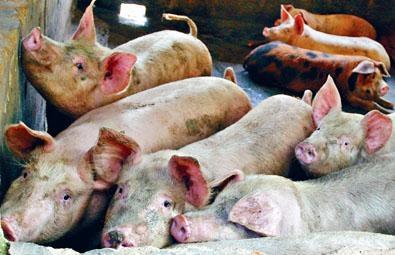 內地活豬供應近期則維持約一千八百隻。