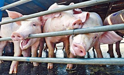 食環署估計全港只有一百隻本地活豬應市。