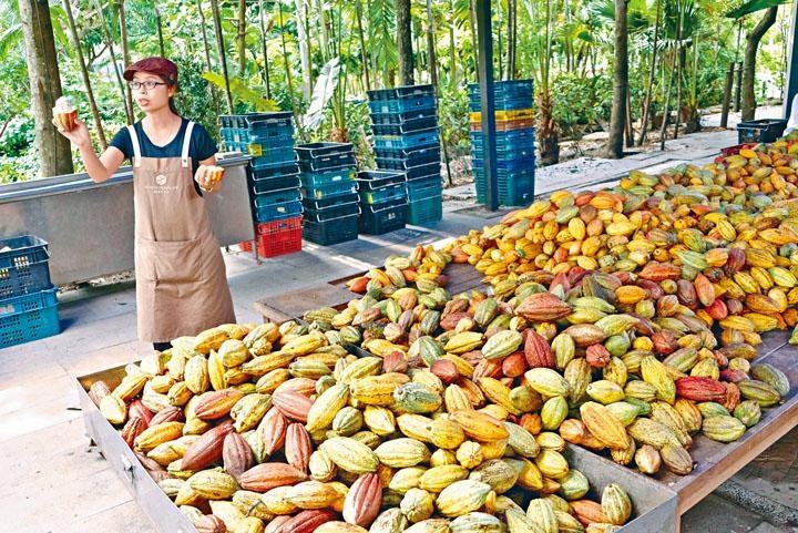 ●在莊園內可嘗嘗新鮮可可豆籽粒的味道。