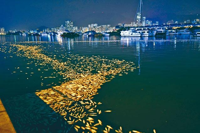 ■觀塘海濱長廊對開魚屍遍海,範圍延綿一點五公里。