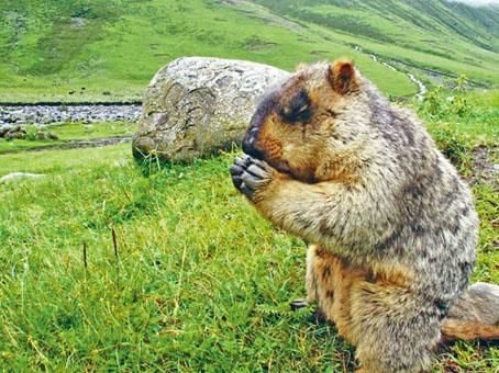 內地近年「鼠疫」疫情多與旱獺有關。